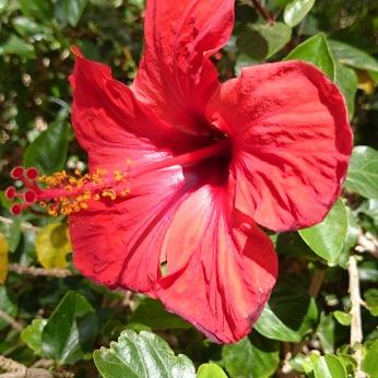 Hübschblume